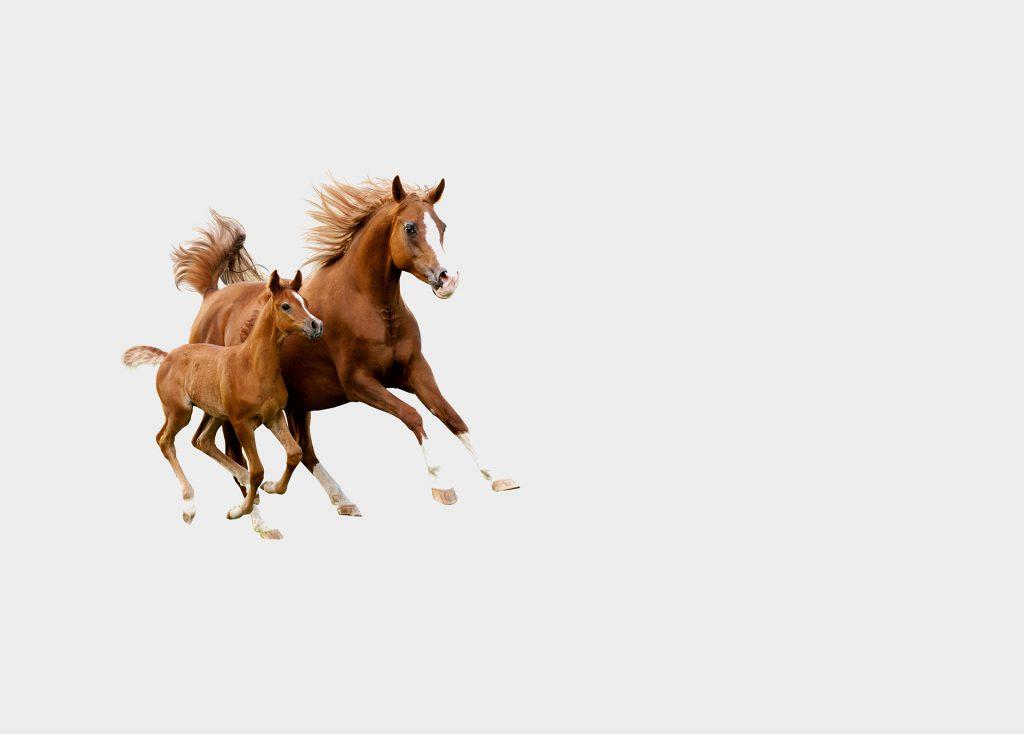 kobilas